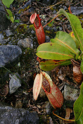 Nepenthes northiana