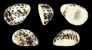 <i>Nerita albicilla</i> species of mollusc