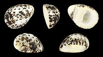 Nerita albicilla - Nerita albicilla