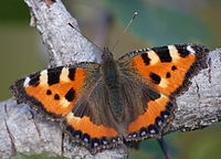 a brush-footed butterfly
