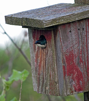 Tree swallow - Nesting