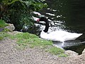 New Zealand Swan at Trevarno - geograph.org.uk - 488726.jpg