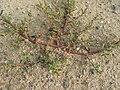Neznámá rostlina v Tróji (003).JPG
