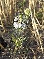 Nigella arvensis sl42.jpg