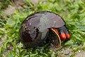 Norris's Top Snail - Norrisia norrisii (42549266275).jpg