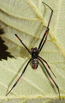 Northern Black Widow - Latrodectus variolus, Julie Metz Wetlands, Woodbridge, Virginia - 15471199337.jpg