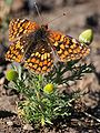 Northern Checkerspot Butterfly.jpg