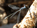 Northern Spreadwing at Lily Lake (14872213057).jpg