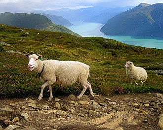Luster, Norway - Norway sheep and Luster landscape