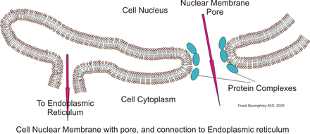 Nuclear membrane - Wikiwand