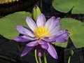 Nymphaea 'Kew's Stowaway Blues'-IMG 5500.jpg