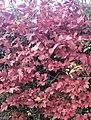 Obier en automne.jpg