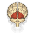 Occipital lobe - posterior view.png