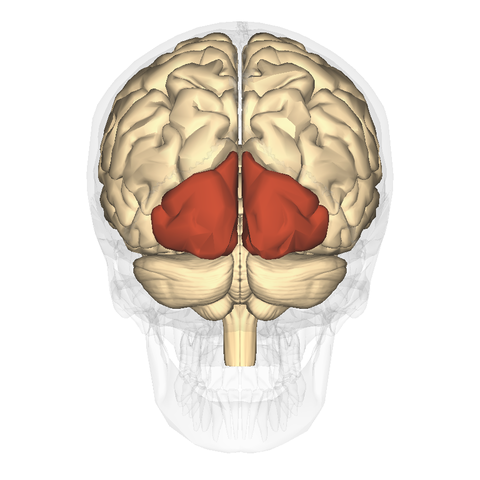 File:Occipital lobe - posterior view.png - Wikimedia Commons