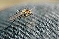 Ochlerotatus.punctor.female.jpg
