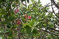 Ochna pulchra26.jpg
