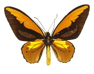 <i>Ornithoptera croesus</i> species of insect