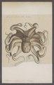Octopus vulgaris - - Print - Iconographia Zoologica - Special Collections University of Amsterdam - UBAINV0274 090 03 0004.tif