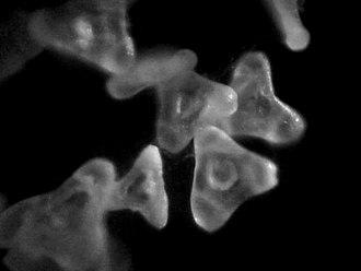 Pollen - Triporate pollen of Oenothera speciosa
