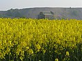 Oil seed rape, Niddry Castle and shale bing - geograph.org.uk - 1271898.jpg
