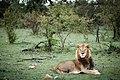 Ol Kinyei Lion.jpg