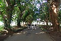 Old Big Trees - panoramio.jpg