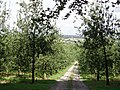 Old cider apple orchard - geograph.org.uk - 31778.jpg