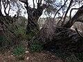 Olea europaea Grove Wardija Ridge Malta 05.jpg