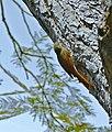 Olivaceous Woodcreeper (Sittasomus griseicapillus) (31702392111).jpg