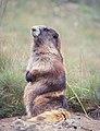 Olympic Marmot 01.jpg