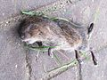 Ondatra zibethicus (Muskrat) (dead), Arnhem, the Netherlands.jpg