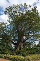 One Hundred Guinea Oak Tree (8096912658).jpg