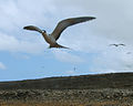 Onychoprion fuscatus Ascension Island 0.jpg