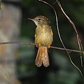 Onychorhynchus coronatus - Amazonian Royal Flycatcher.JPG