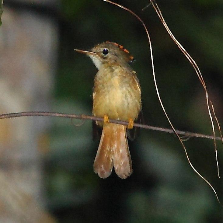 Onychorhynchus coronatus - Amazonian Royal Flycatcher