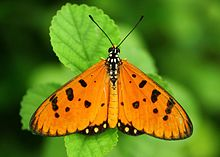 Open wing position of Acraea violae Fabricius, 1775-1793 - Tawny Coster WLB.jpg