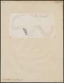 Ophichthys maculosus - 1798-1876 - Print - Iconographia Zoologica - Special Collections University of Amsterdam - UBA01 IZ15200119.tif