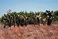 Opuntia galapageia var. galapageia, Santiago 2010 10 04 1872 (5192162817).jpg