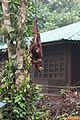 Orang Utan picking up some fruit (26426082272).jpg