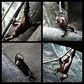 Orangutan (4806705572).jpg