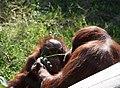 Orangutan Baby (3337179572).jpg