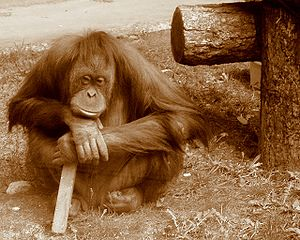Orangutan thinking.jpg