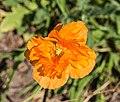 Oranje Papaver orientale. actm 02.jpg