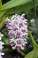 Orchideje v Troji, Rhynchostylis gigantea, 02.jpg