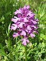 OrchisTridentata01 ST 09.JPG