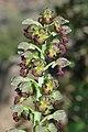 Orchis punctulata 1.jpg