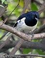 Oriental Magpie-robin Copsychus saularis (Linnaeus, 1758) male (16328971536).jpg