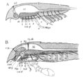 Origin of Vertebrates Fig 105.png