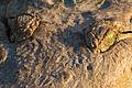 Orinoco crocodile - Cocodrilo del Orinoco (Crocodylus intermedius) (9722180261).jpg