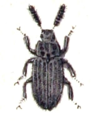 Colydiinae - Orthocerus clavicornis of the disputed tribe Orthocerini